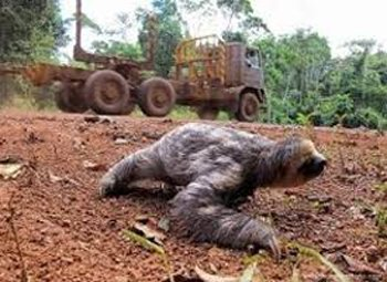 Sloth left homeless from deforestation